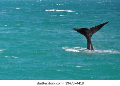 Tail of a Southern right whale in the bay in Kleinbaai, near Gansbaai, South Africa