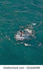 The tail of a Sperm Whale as it is going for a dive off the coast of Kaikoura, New Zealand