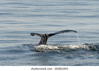 Tail view of Humpback whale in Massachusetts, Northern hemisphere