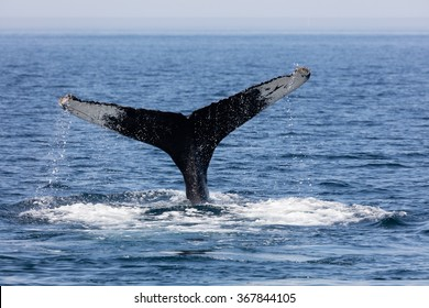 Tail of Whale, Cape Cod, Massachusetts, USA