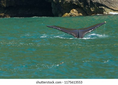 Tail of a whale (fluke) above surface of water in Aialik Bay, Alaska, USA. Fluke is about to disappear under the water. Ample copy space.