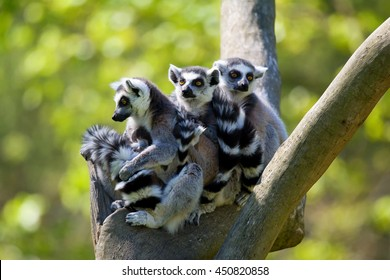 Tailed lemur (Lemur catta) family of lemurs sitting on a branch