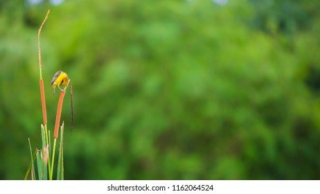 Tailorbird or Orthotomus is cling to Reed beds grass, nature scenery, small bird in nature garden with green plant backdrop, selective focus, blured background, copy space