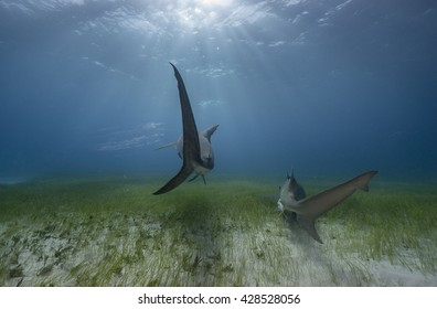 The tails of a tiger shark and lemon shark as they swim away over a sea grass covered sandy bottom in the Bahamas.