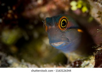 tailspot coralblenny fish