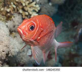 Tailspot squirrelfish swimming underwater on a tropical coral reef