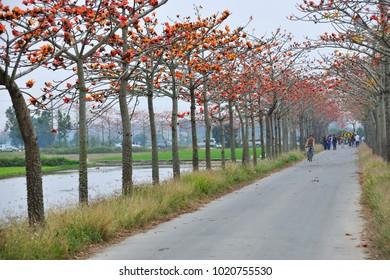 Tainan, Taiwan, March 31, 2012: Autumn kapok tree road and blossoming kapok, is a favorite tourist destination.