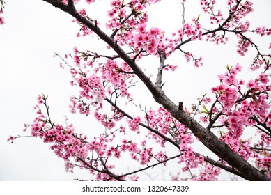 Taipei Taiwan - February 16th, 2019: In the spring, beautiful cherry blossoms bloom in the Lohas Park, Neihu District, Taipei City.