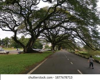 Taiping, Perak, Malaysia :December 17,2020 - View of a Famous, Peaceful and Historical Raintree Walk at Taman Tasik Taiping