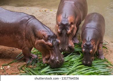Taiping Perak, Malaysia - February 14, 2019 : Hippo is enjoying lunch at the zoo taiping Perak Malaysia