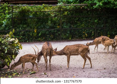 Taiping Perak, Malaysia - February 14, 2019 : Beautiful Axis Deer or Spotted Deer in zoo taiping perak Malaysia