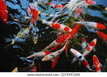 Taisho Sanke Koi Fish Fish Pond Stock Photo (Edit Now