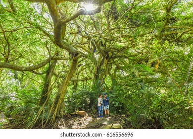 Taitung, Taiwan-June 25, 2016: White Banyan Tree (The Tree That Can Walk) in The Deep Forest of Luanshan Tribe , Luye