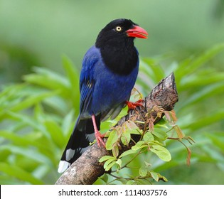 Taiwan Blue Magpie (Urocissa caerulea) is an endemic bird species of Taiwan. Social, intelligent, loud, and gregarious, the colorful bird has become the symbol of the island.
