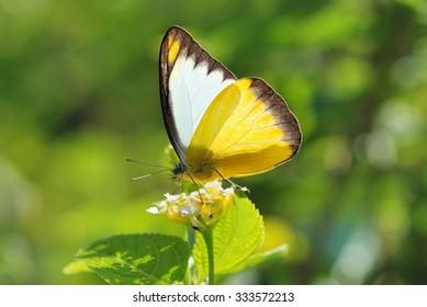 Taiwan Butterfly (Appias lyncida formosana) on a flower