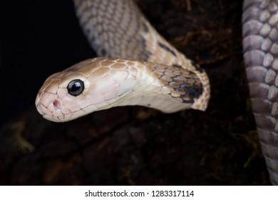 Taiwan cobra (Naja atra formosa)