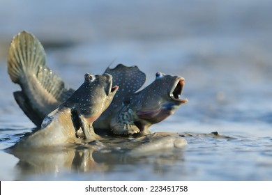 Taiwan er-Jen Creek estuaries, intertidal mudskippers, is witnessing a fish evolving into amphibians, had driven into the field within the scope of small organisms