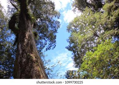 Taiwanese Giant Cypress tree in Alishan