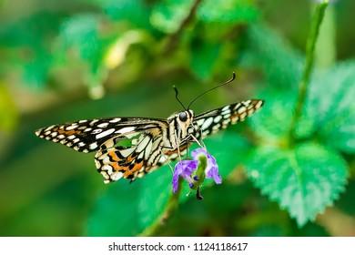 Taiwanese Leopard spot butterfly