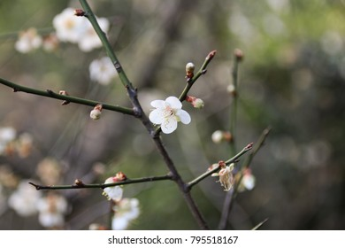 Taiwan's plum blossom