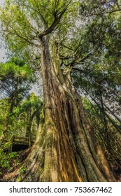 Taiwan's Top 10 Giant Trees (Divine Tree) at Kuaishan Big Tree Trail, Guanwu Recreation Area, Sheipa National Park, Hsinchu,Taiwan