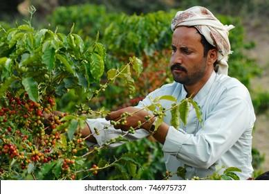 TAIZZ, YEMEN - SEPTEMBER 17, 2006: Unidentified yemeni farmer collects arabica coffee beans at the plantation in Taizz, Yemen.