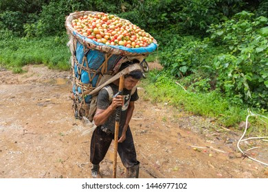 Tak, Thailand - July 08, 2019 : Unidentified Myanmar migrant worker carrying baskets of tomatoes a huge weight down from the top mountain at Tak, Thailand.