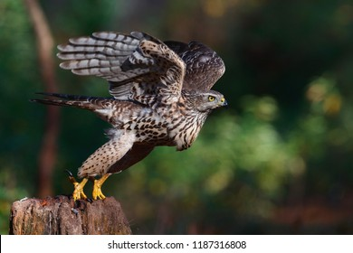 Take off of a juvenile northern goshawk in the forest in the Netherlands