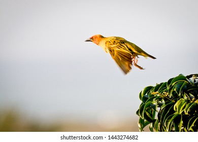 Take off. A speedy early morning start to a busy day for a Weaver bird.