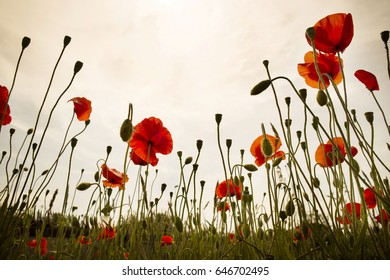 Taken from the bottom of a group of late-night poppies