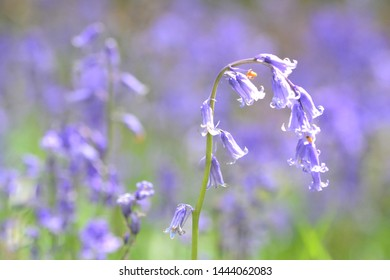 Taken at Burpham near Arundel in West Sussex (UK). The Burpham Woods are a carpet of blueblls in the springtime.