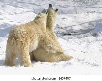 taken at cochrane polar bear facility. The 24 year old male was trying to copulate with 6 year old female for over 2 hours. The female was getting fed up.