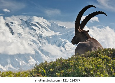 """Taken from the""""Aiguilles rouges"""" mountain. An ibex in front of the Mont-Blanc mountain, just above Chamonix."""