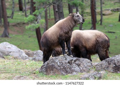 The takin, also called cattle chamois or gnu goat, is a goat-antelope found in the eastern Himalayas and this one in Bhutan.
