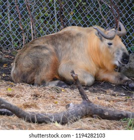 The takin also called cattle chamois or gnu goat is a goat-antelope found in the eastern Himalayas. The takin is the national animal of Bhutan