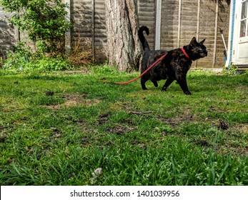 Taking our female cat for a walk in the garden