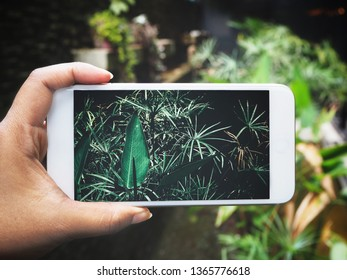 Taking a photo of tropical leaves with smart phone on hand