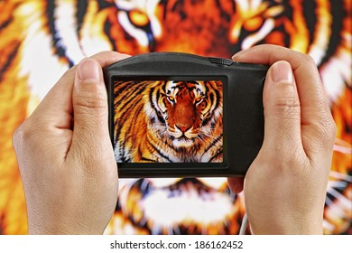 Taking a Photograph of a Tiger