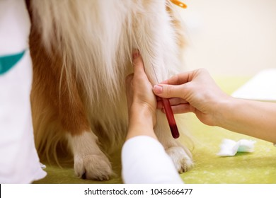 Taking a sample of blood from dog for analysis, sick dog at pet ambulance