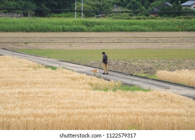 Taking a walk with dog - in wheat fields