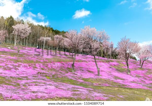 TAKINOUE,HOKKAIDO,JAPAN-MAY 11,2018: Tourists walking around  Pink moss flowers field (Japaness call Shibazakura) Blooming like a pink carpet on the hill at Takinoue park