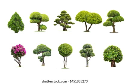 Tako trees bending. Isolated tree on white background , The collection of trees.Tree database Botanical garden organization elements of nature in Thailand,