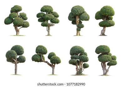 Tako trees bending.Isolated tree on white background,The collection of trees.