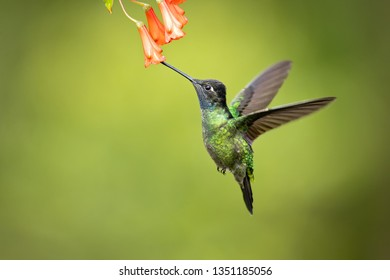 Talamanca hummingbird or admirable hummingbird (Eugenes spectabilis) is a large hummingbird. The admirable hummingbird's range is Costa Rica to Panama