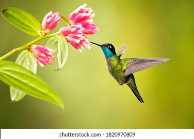 Talamanca hummingbird or admirable hummingbird (Eugenes spectabilis) is a large hummingbird.The talamanca hummingbird's range is Costa Rica to Panama
