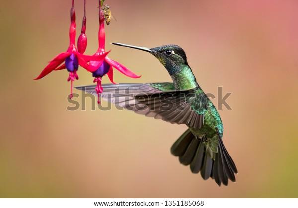 Talamanca hummingbird or admirable hummingbird (Eugenes spectabilis) is a large hummingbird. The admirable hummingbird's range is Costa Rica to Panama