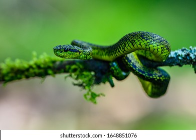 Talamancan Palm-Pitviper, Bothriechis nubestris, nature habitat. Rare new specie viper in tropical forest. Poison snake in the dark jungle. Detail of beautiful green snake from Costa Rica, in moss.