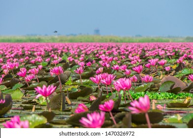 Talay Bua Daeng or Red indian water lily sea at Nong Han marsh in Kumphawapi district, Udon Thani, Thailand. The binomial name of this plant is Nymphaea pubescens Willd.