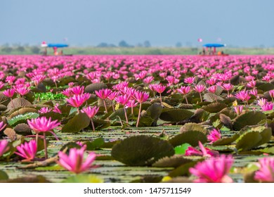 Talay Bua Daeng or Red indian water lily sea with tourist boats at Nong Han marsh. The travel destination for tourism in Kumphawapi district, Udon Thani, Thailand.