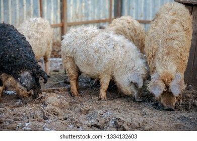 Tale of several pigs with curly hair similar to sheep. Mangalica Hungarian breed of domestic pig